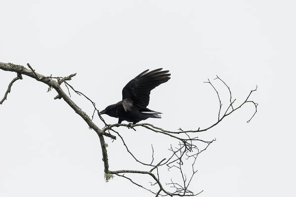 Photograph - American Crow And Twig by Robert Potts