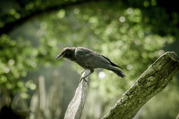 Photograph - American Crow by Joe Leone