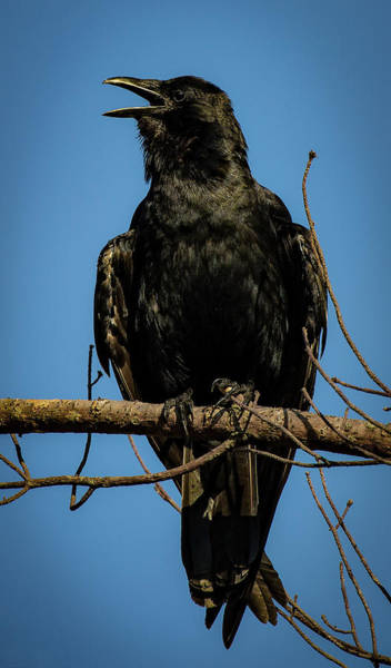 Photograph - American Crow by Lora J Wilson