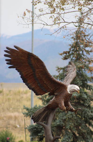 Photograph - American Eagle And Pine by Colleen Cornelius