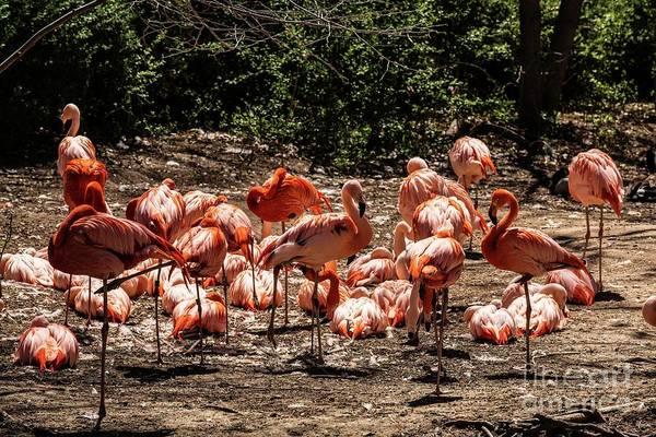 Photograph - American Flamingo by Jon Burch Photography
