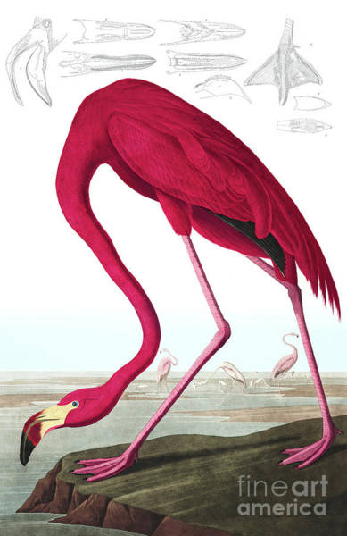 Wall Art - Painting - American Flamingo, Phoenicopterus Ruber By Audubon by John James Audubon