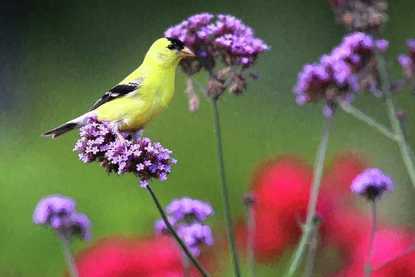 Photograph - American Gold Finch Painting by Carol Montoya