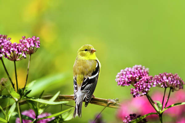 Wall Art - Photograph - American Goldfinch Bird by Christina Rollo