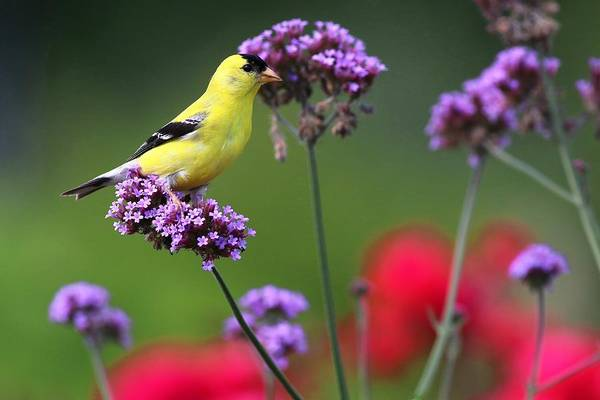 Photograph - American Goldfinch by Carol Montoya