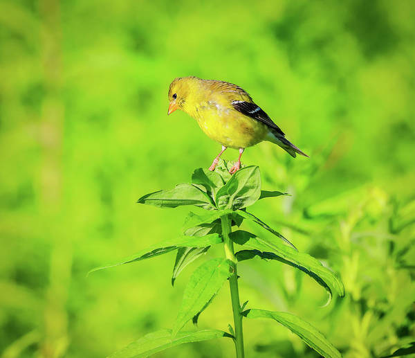 Wall Art - Photograph - American Goldfinch by Dan Sproul