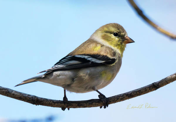 Photograph - American Goldfinch In Spring by Edward Peterson
