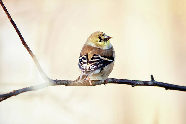 Photograph - American Goldfinch by Sue Collura