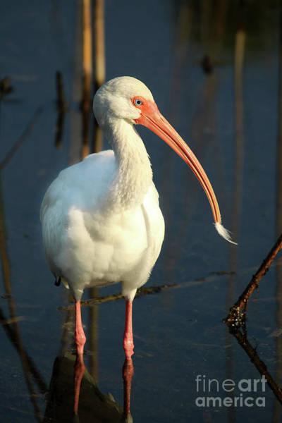 Wall Art - Photograph - American Ibis by Darren Fisher