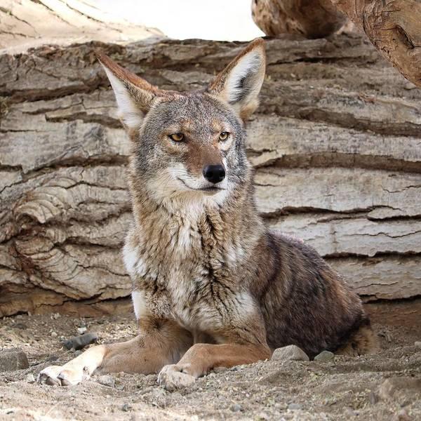 Photograph - American Jackal - Coyote by KJ Swan