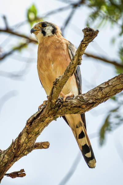 Photograph - American Kestrel La Palmita Casanare Colombia by Adam Rainoff