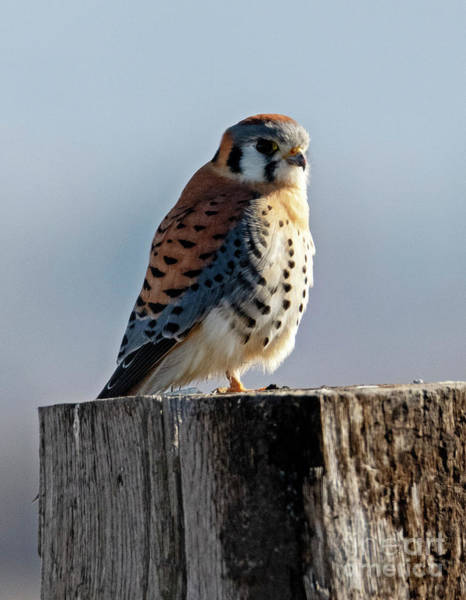 Raptor Photograph - American Kestrel Profile by Mike Dawson