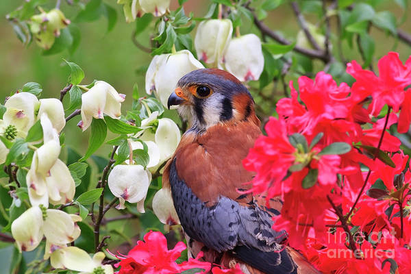 Photograph - American Kestrel Sitting In The Spring Azaleas by Jill Lang