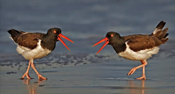 Photograph - American Oystercatchers by Susan Candelario