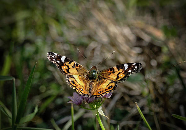 Wall Art - Photograph - American Painted Lady by Betty Depee