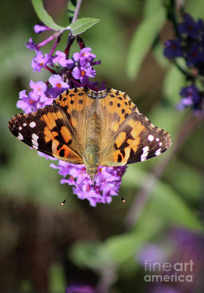 Photograph - Painted Lady Butterfly Upside Down by Karen Adams