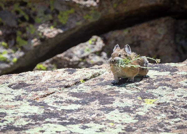 Photograph - American Pika by Michael Chatt