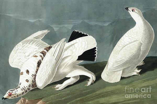 Wall Art - Painting - American Ptarmigan, Tetrao Mutus, White Tailed Grous, Tetrao Leucurus by John James Audubon