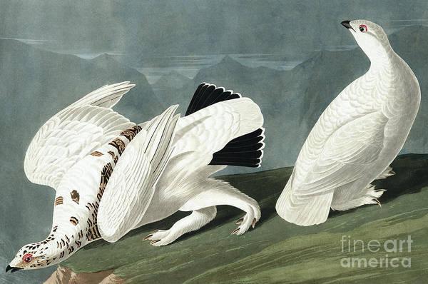 Painting - American Ptarmigan, Tetrao Mutus, White Tailed Grous, Tetrao Leucurus by John James Audubon