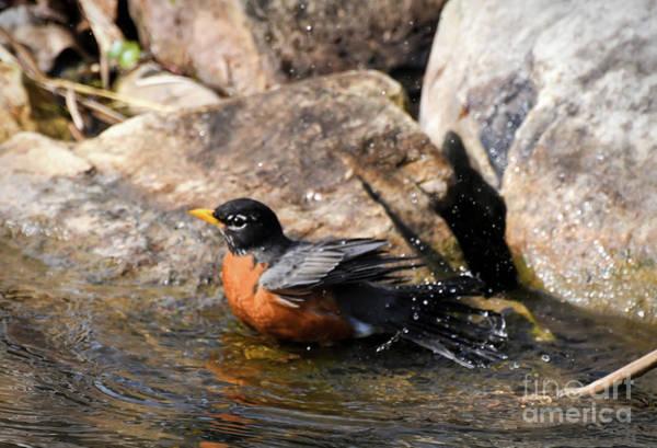 Photograph - American Robin - A Bathing Beauty by Kerri Farley