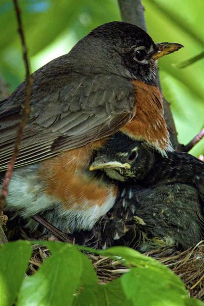 Photograph - American Robin  by Jeff Phillippi