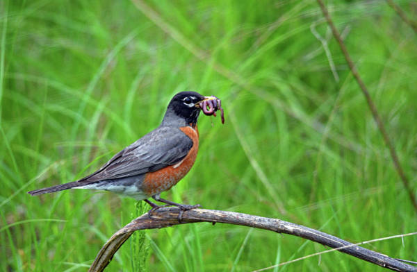 Wall Art - Photograph - American Robin by Tim Tanner