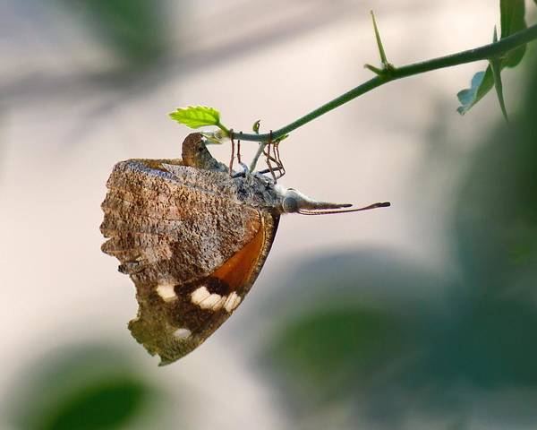 Photograph - Quietly Laying Eggs - American Snout Butterfly by KJ Swan