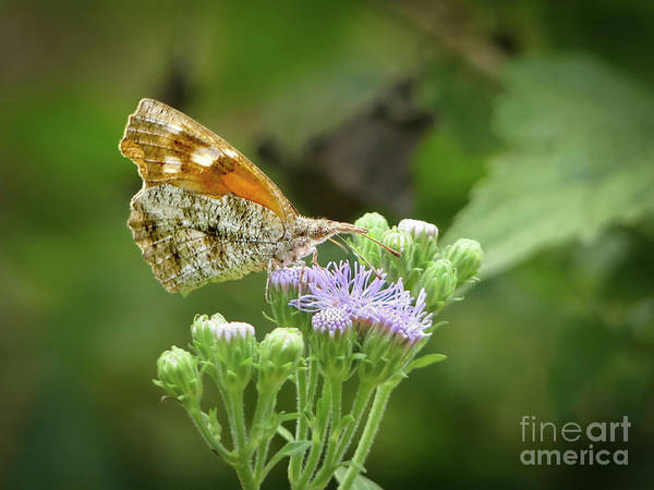 Snout Butterfly Photograph - American Snout  by Teresa A and Preston S Cole Photography