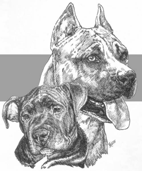 Drawing - American Staffordshire Terrier And Pup by Barbara Keith