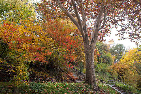 Photograph - American Sycamore In Autumn Colors by Jenny Rainbow