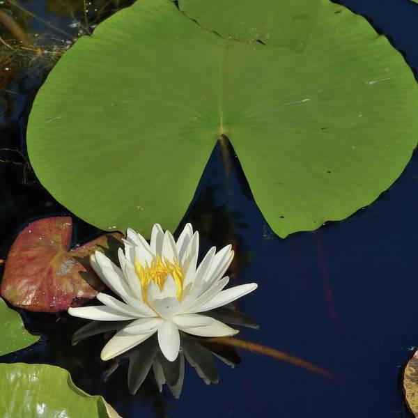 Photograph - American Water Lily-square by Bradford Martin