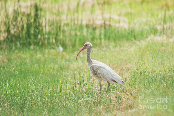 Wall Art - Photograph - American White Ibis by Kelly Kitchens
