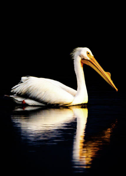 Photograph - American White Pelican by Norman Peay