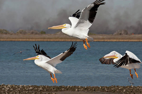National Wildlife Refuge Wall Art - Photograph - American White Pelican Pelecanus by Danita Delimont