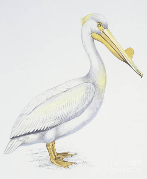 Wall Art - Drawing - American White Pelican  Pelecanus Erythrorhynchos by American School