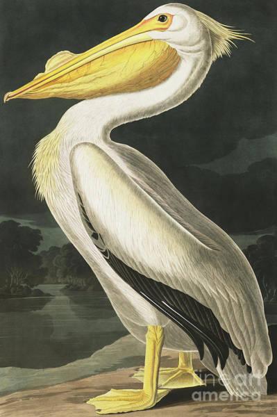 American White Pelican Wall Art - Painting - American White Pelican, Pelecanus Erythrorhynchos By Audubon by John James Audubon