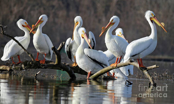 Wall Art - Photograph - American White Pelicans 202 by Steve Gass