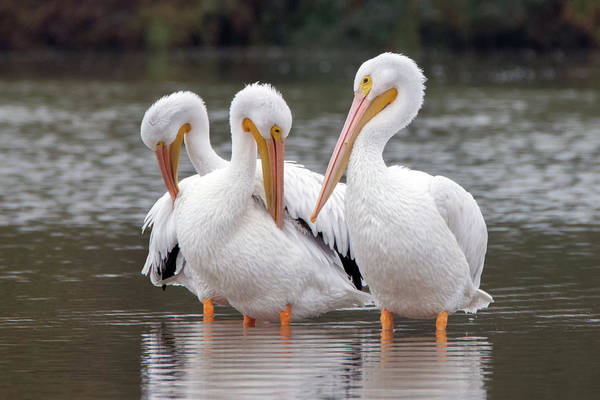 Photograph - American White Pelicans 3606-120818-1cr by Tam Ryan