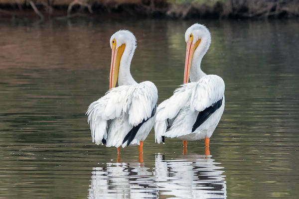 Photograph - American White Pelicans 4316-121018-1 by Tam Ryan