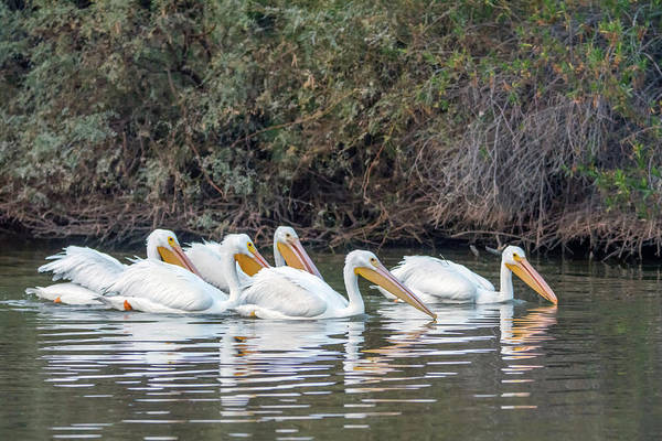 Photograph - American White Pelicans 5262-121518-1 by Tam Ryan