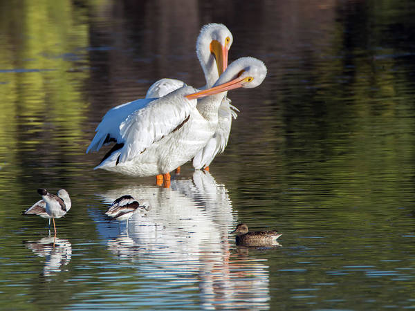 Photograph - American White Pelicans 5613-102618-1cr by Tam Ryan