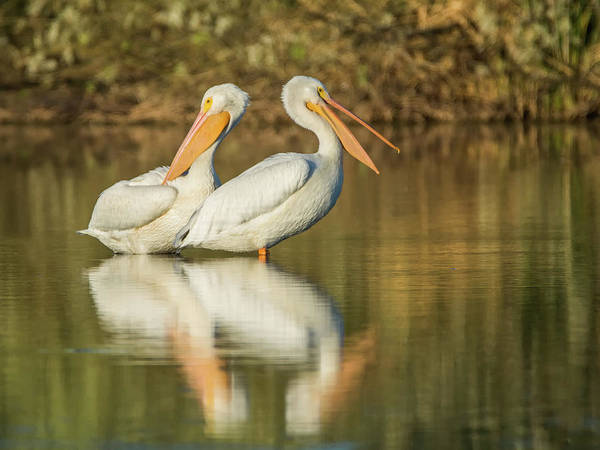 Photograph - American White Pelicans 8683-110818-1cr by Tam Ryan