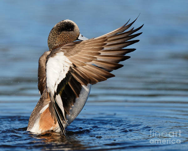 Photograph - American Wigeon Display by Sue Harper