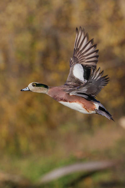 Wall Art - Photograph - American Wigeon Drake by Ken Archer