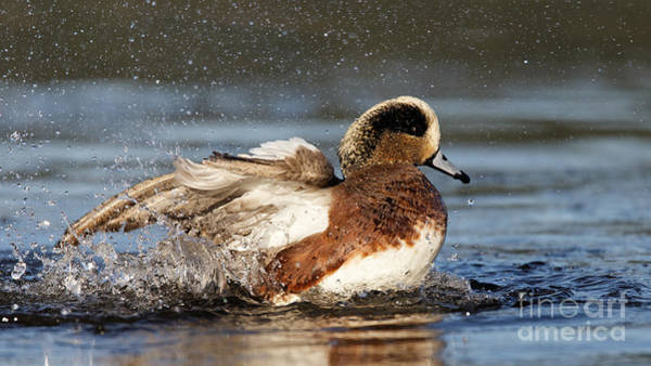 Photograph - American Wigeon Splash by Sue Harper