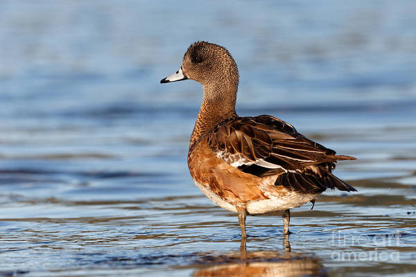 Photograph - American Wigeon Standing Alert by Sue Harper