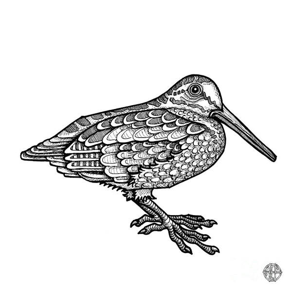 Drawing - American Woodcock by Amy E Fraser