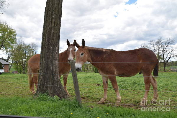 Photograph - Amish Animals On A Spring Afternoon by Christine Clark