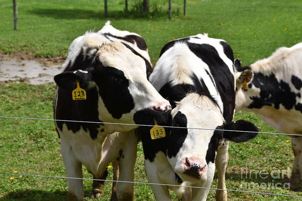 Photograph - Amish Cows In Spring by Christine Clark