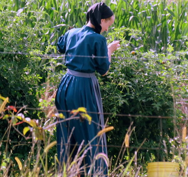 Vernon County Photograph - Amish Woman Picking Cherry Tomatoes by Kay Novy